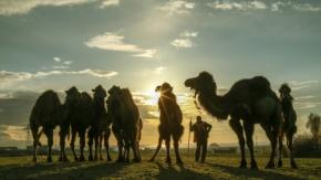 Zorlu doğa koşulları develere şampiyonluk getiriyor