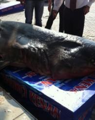 Şifalı  Köpek Balığı