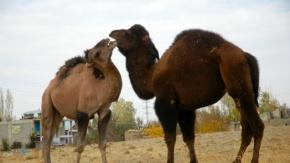 Şampiyon develer Van'da güreşe hazırlanıyor
