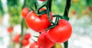 Soğuk ilçenin sera domatesleri marka oldu