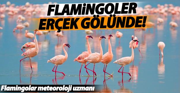 Flamingolar Erçek Gölü'nde