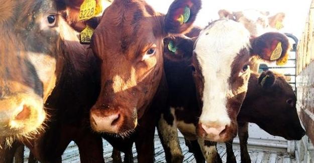 Çaldıran'da çiftçilere hayvan dağıtımı