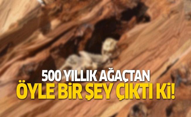 500 yıllık ağaçtan öyle bir şey çıktı ki!
