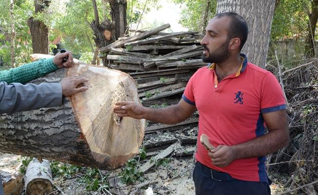 Çatak'ta sağlığını tehdit eden kavak ağaçları kesiliyor