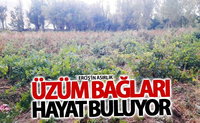 Erciş'in asırlık üzüm bağları hayat buluyor