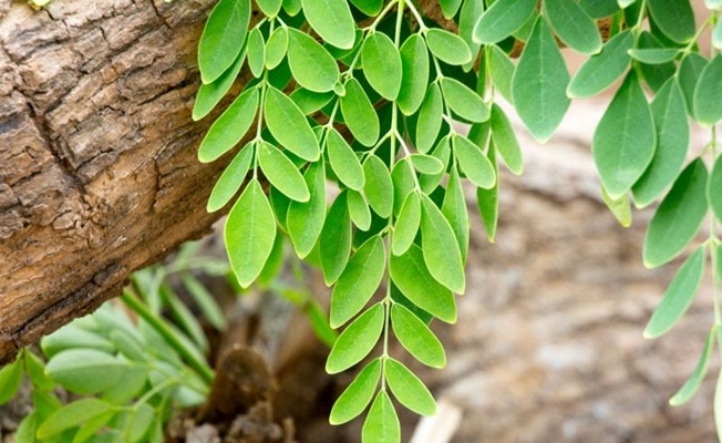 Moringa oleifera nedir?