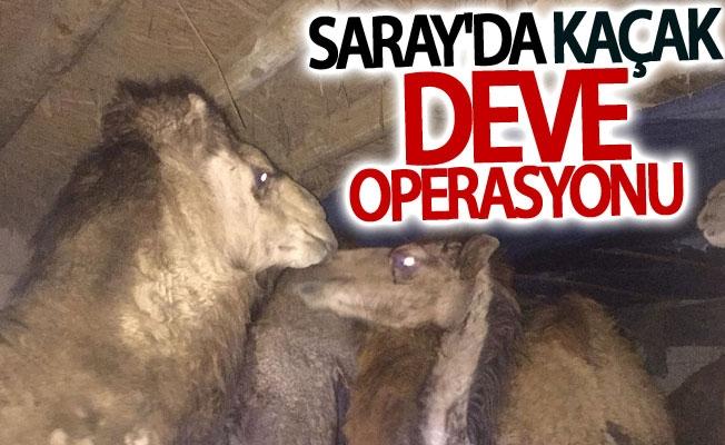 Van Saray'da kaçak deve operasyonu