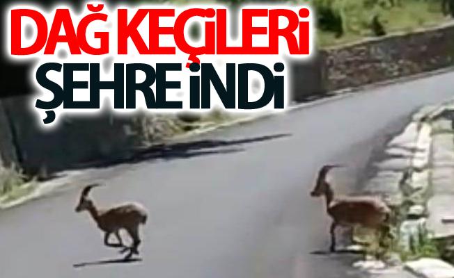 Dağ keçileri şehre indi