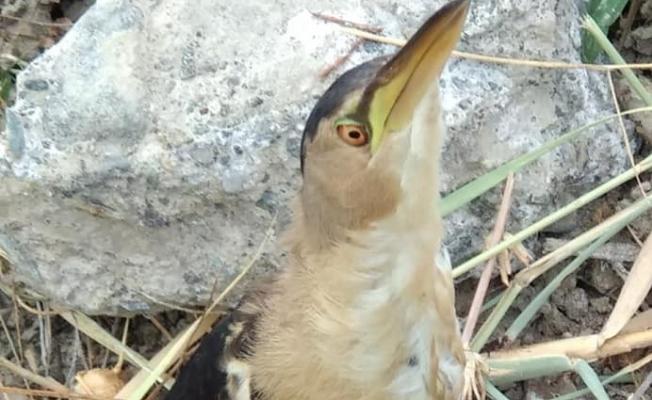 Küçük balaban kuşu tedavi altına alındı