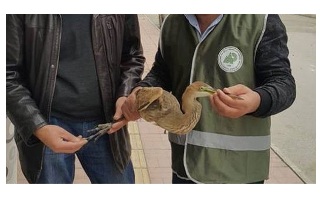 Erguvani Balıkçıl Kuşu tedavi altına alındı