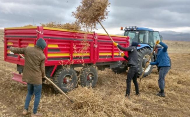 Başkale'de buğday ve yoncaya alternatif aspir hasadı yapıldı