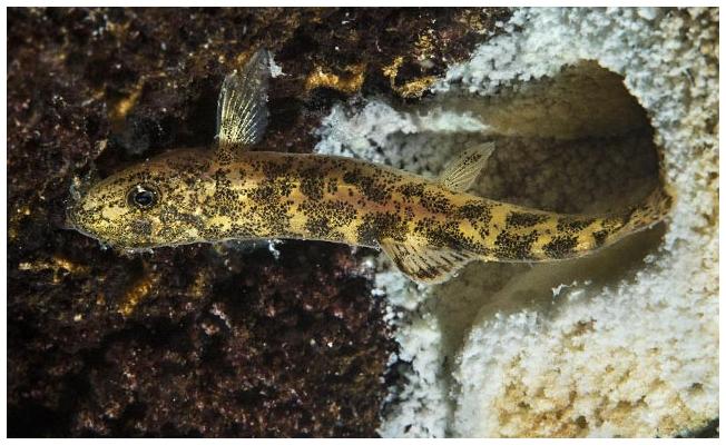Van Gölü'nde bulunan yeni balık türüyle ilgili yeni bilgiler