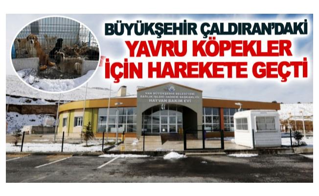 Büyükşehir Çaldıran'daki yavru köpekler için harekete geçti