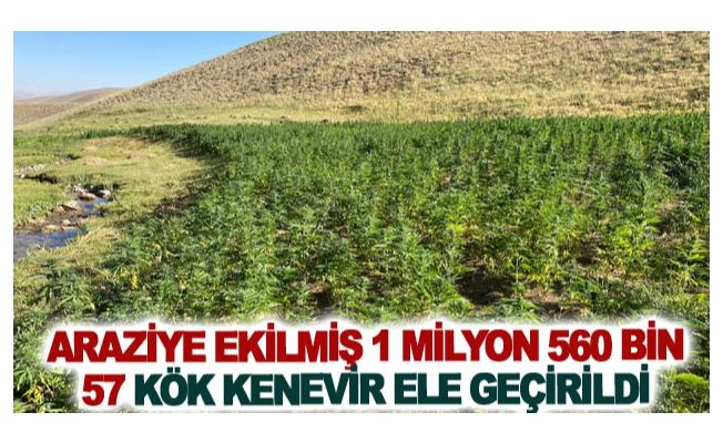 Araziye ekilmiş 1 milyon 560 bin 57 kök kenevir ele geçirildi