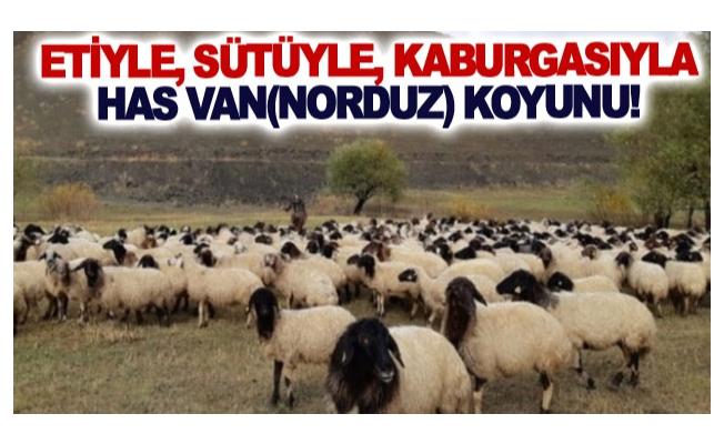 Etiyle, sütüyle, kaburgasıyla has Van(Norduz) koyunu!